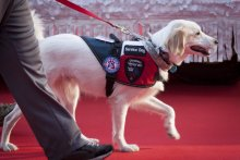 A photo of a golden retriever service dog wearing a vest with several service dog patches. The most prominent reads 'Disabled Veteran with Service Dog.'